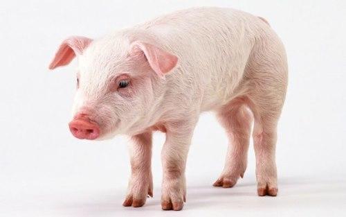 sanovnik svinja